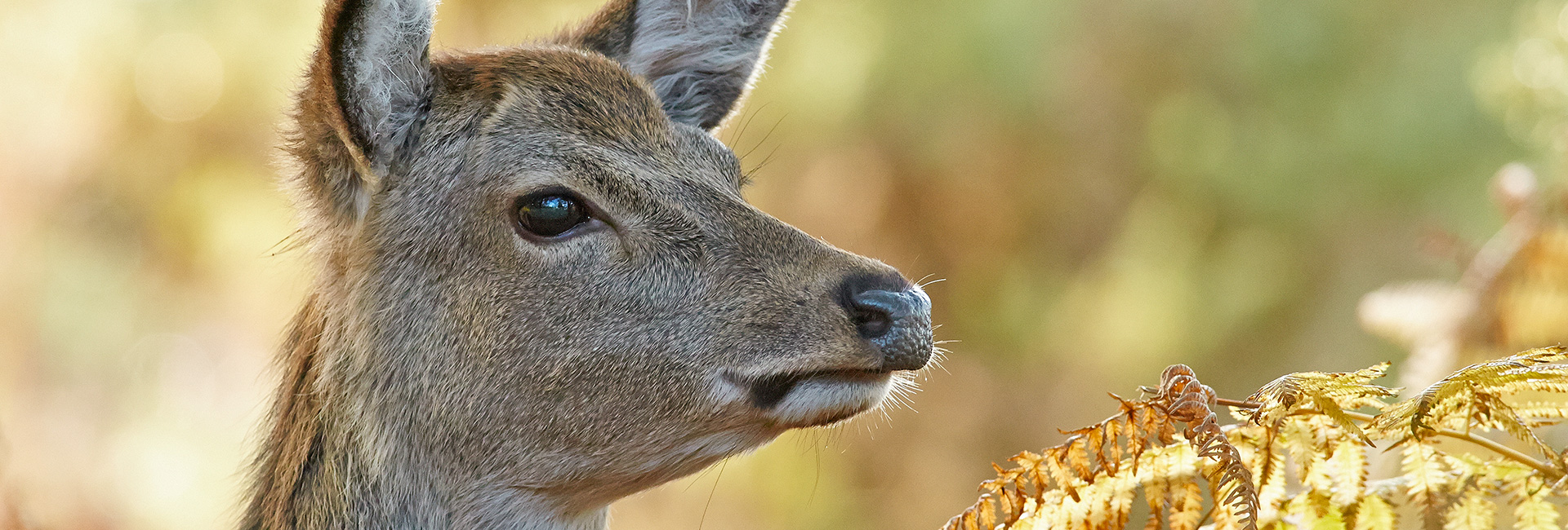 picture_BritishDeerSociety_CloseUp